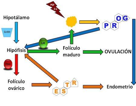 regulación-hormonal-hembras-animales