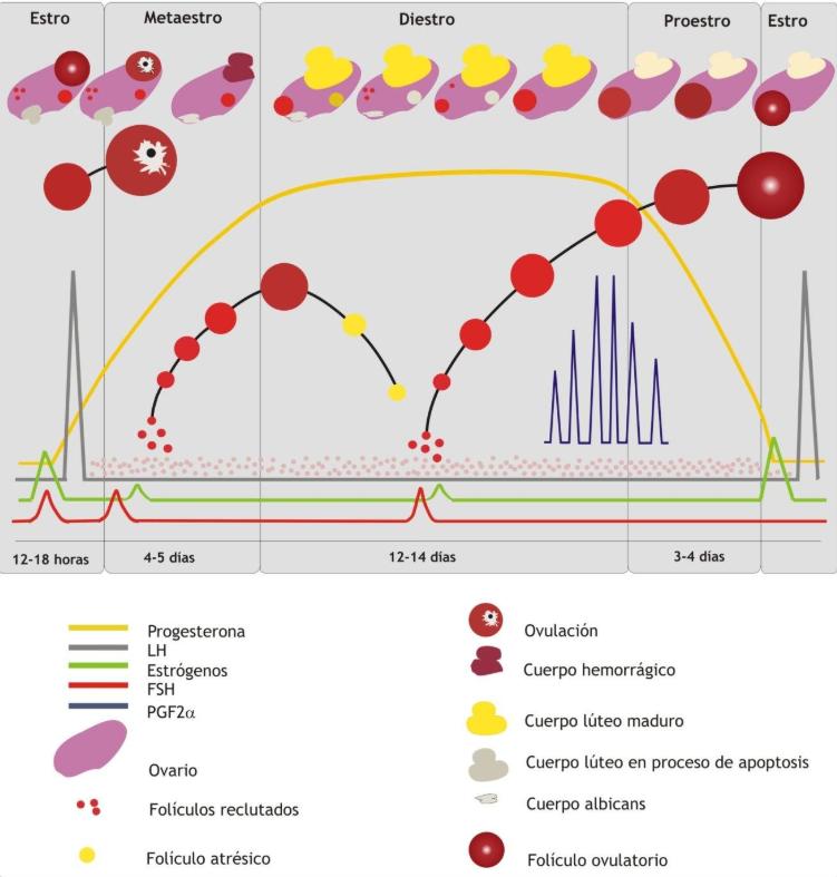 regulacion-hormonal-ciclo-estral