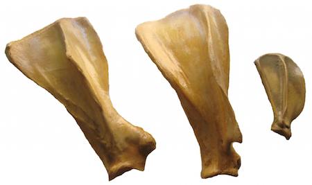 anatomia-comparada-escapula-veterinaria