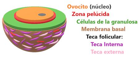 folículo-primario-avanzado-foliculogenesis-3d
