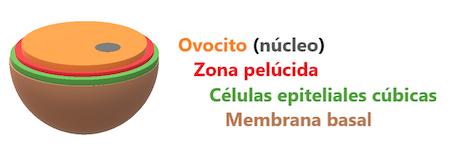 foliculo-primario-inicial-foliculogenesis