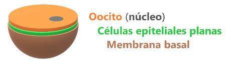 foliculo-primordial-foliculogenesis