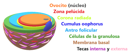 foliculo-terciario-foliculogenesis