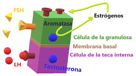 produccion-de-estrogenos-foliculogenesis