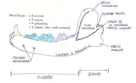 mandibula-anatomia-perro