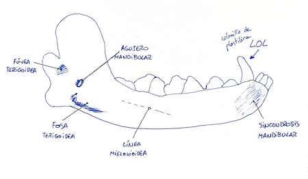 anatomia-mandibula-perro
